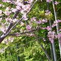 写真: 竹林と桜