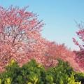 写真: 一丁目の桜2017