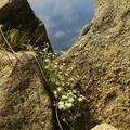 写真: 蛇紋岩に咲く