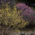 写真: 星野の春