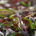 写真: 春蘭