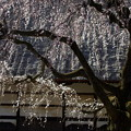 写真: 枝垂れ桜