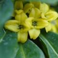 写真: 珍しい色 沈丁花~~スーパよ ピントガ