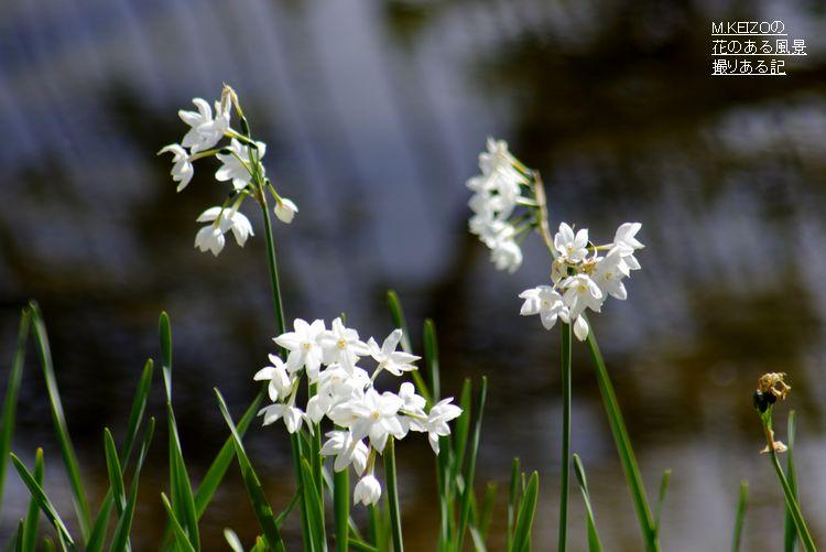 写真: 房咲き水仙 (4)
