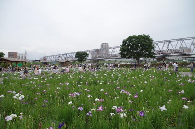 小岩菖蒲園 (2)
