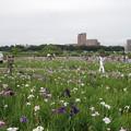 写真: 小岩菖蒲園 (15)