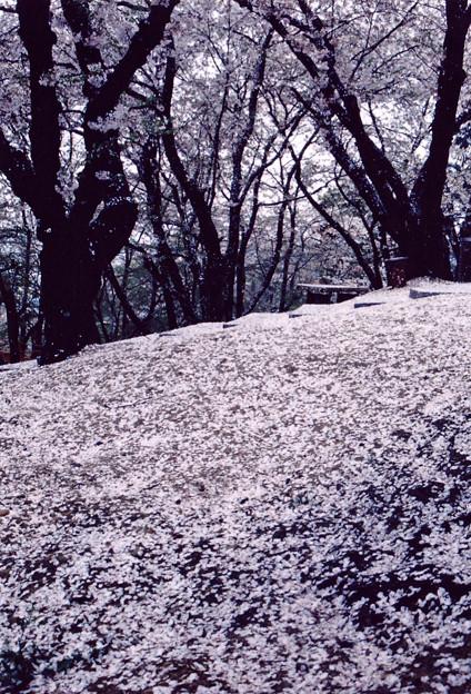 桜散る小道
