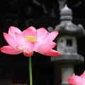 写真: 三室戸寺・蓮