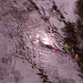 写真: 三島水辺散策撮影@あかね
