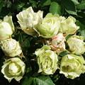 Photos: 挿し木のバラ