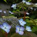 Photos: 窓際に咲くアジサイ