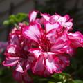 Photos: お隣さんの花ーB