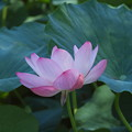 Photos: 蓮の花