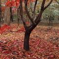 Photos: 散りゆく紅葉