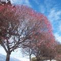 Photos: 雪の日の梅林