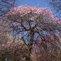 Photos: 梅も咲き始めました。
