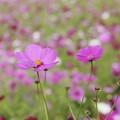 写真: 色鮮やかなコスモス♪