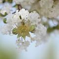 Photos: サルスベリ~白花~♪
