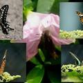 Photos: 雨上がりの蝶達