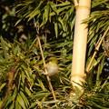 写真: 竹薮のメジロ