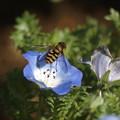 写真: ネモフィラに花アブ
