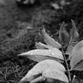 落葉 - モノクロ -