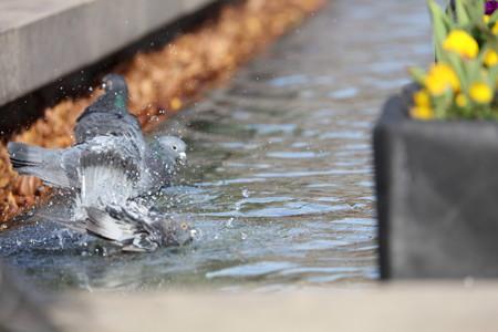 鳩の水遊び