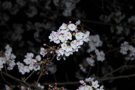 2010.04.04 夜桜(2/3)