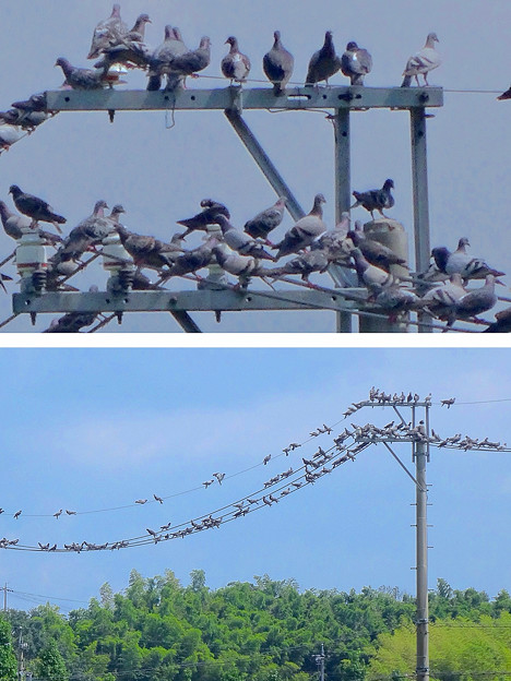 電線を占拠する沢山の鳩 - 2