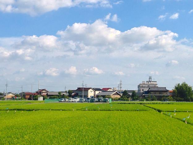 写真: 夏らしい青空と雲、たわわに田んぼの実った稲 - 3