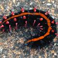 Photos: 道端にいた、グロテスクな刺の生えた芋虫 - 2