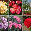 鶴舞公園:様々な色のバラ(2016年5月15日)- 2