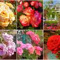 鶴舞公園:様々な色のバラ(2016年5月15日)- 5(フィルター)