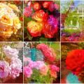 鶴舞公園:様々な色のバラ(2016年5月15日)- 6(フィルター)