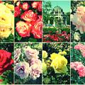 鶴舞公園:様々な色のバラ(2016年5月15日)- 12(フィルター)