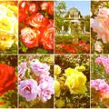 鶴舞公園:様々な色のバラ(2016年5月15日)- 13(フィルター)