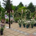 フラリエ:「ローズフェスタ」で展示されてた様々なバラ - 1