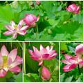 写真: 綺麗な花が咲いていた、鶴舞公園の池のハス - 17