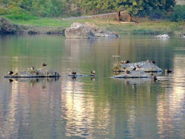川面に飛び出た岩の上や岩の周りの浅瀬で休む、沢山のカモ - 1
