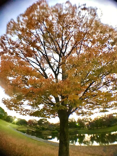写真: 広角レンズ付けて撮影した紅葉した木 - 3