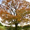 広角レンズ付けて撮影した紅葉した木 - 3