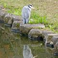 Photos: 落合公園:凛々しい顔をしたアオサギ - 1