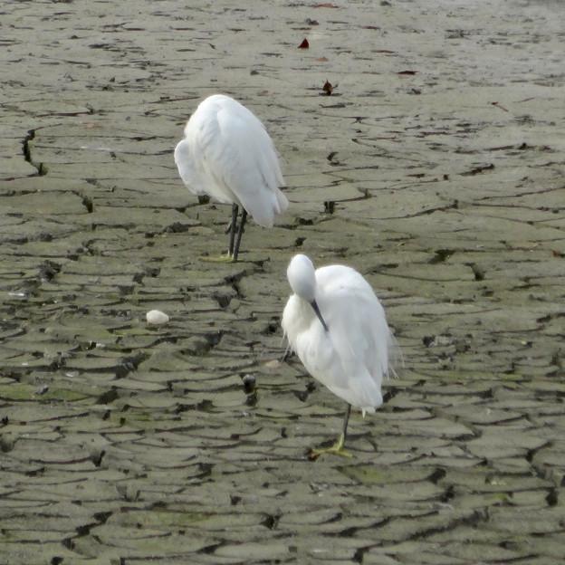 落合公園:水抜き中の干上がった池の真ん中に集まる水鳥 - 5(毛づくろいをするシラサギ)