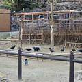 東山動植物園:相変わらず沢山いたカラス