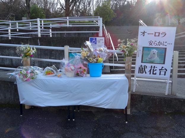 東山動植物園:先日亡くなったシロクマ「オーロラ」の献花台