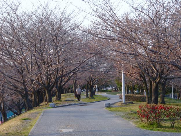 落合公園:まだツボミが全く膨らんでなかった、ほとんどのソメイヨシノ(2017年3月27日) - 4