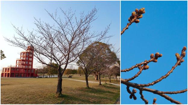 落合公園:まだツボミが全く膨らんでなかった、ほとんどのソメイヨシノ(2017年3月27日) - 8