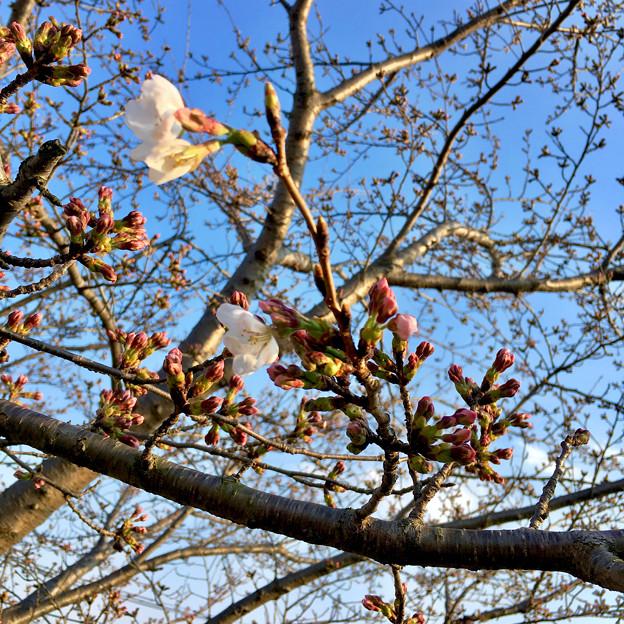 咲き始めていた、大山川沿いの桜 - 1(2017年3月30日)