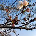 咲き始めていた、大山川沿いの桜 - 2(2017年3月30日)