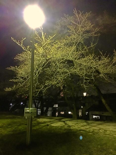 落合公園:蕾は膨らんでたけど、まだ咲いてなかった桜(2017年3月30日) - 2